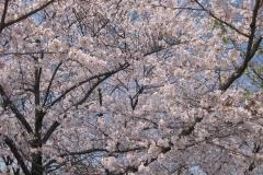 blossom_sakura-e1534864950546