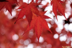 red_leaves-e1534867773490