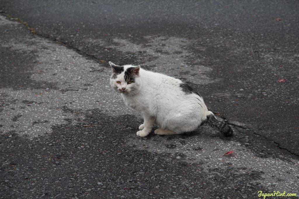 Karuizawa cat