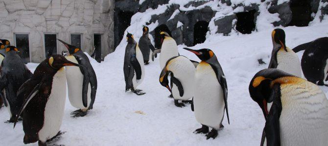 旭山動物園 – 【北海道賞雪 (二)】與企鵝漫步